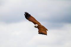Schwebender Falke stockbild