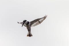 Schwebender Gescheckt-Eisvogel-Vogel lizenzfreie stockbilder