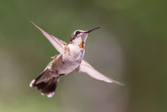 Schwebender Kolibri Stockbilder