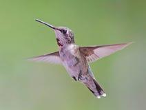 Schwebender Kolibri Stockfotos
