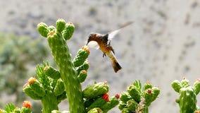 Schwebender Kolibri, der auf Kaktusblume einzieht Lizenzfreie Stockfotografie