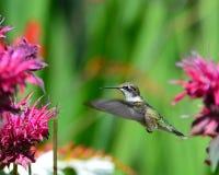 Schwebender Kolibri, der am monarda einzieht Lizenzfreies Stockfoto