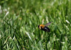Schwebendes Bienen-oben genanntes gemähtes Gras Stockbild