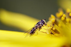 Schwebfliege auf Blume stockfoto