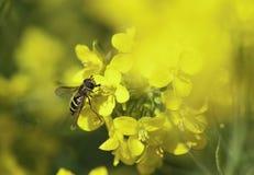 Schwebfliege, die auf eine gelbe Blume einzieht Lizenzfreie Stockfotos
