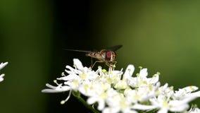 Schwebfliege, Schwebfliege, Fliege, Syrphidae stock video footage