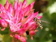 Schwebfliege (Sericomyia-silentis) auf einer rosa Blume Stockfoto