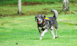 Schwede Elkhound Stockfoto
