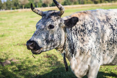Schwedische Kuh Stockfoto