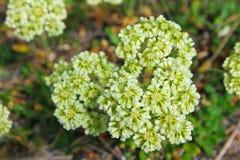Schwefel-Blume, Yellowstone Lizenzfreie Stockbilder
