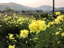 Schwefel-gelber Kosmos im Garten stockfotos
