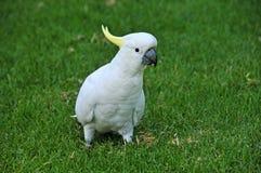 Schwefel-Kakadu mit Haube Lizenzfreies Stockfoto
