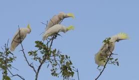 Schwefel-Kakadus mit Haube Stockfotos
