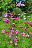 Schwefel-Kosmos-Blume Stockfoto