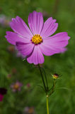 Schwefel-Kosmos-Blume Lizenzfreie Stockfotografie
