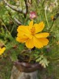Schwefel-Kosmos or†‹gelbes Kosmos flower†‹ stockfoto