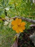 Schwefel-Kosmos or†‹gelbes Kosmos flower†‹ lizenzfreie stockbilder