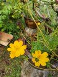 Schwefel-Kosmos or†‹gelbes Kosmos flower†‹ lizenzfreies stockfoto