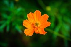 Schwefel-Kosmosblumen-Naturhintergrund Stockfoto