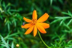 Schwefel-Kosmosblumen-Naturhintergrund Stockbild