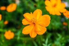 Schwefel-Kosmosblumen-Naturhintergrund Stockfotos