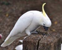 Schwefel-Mit Haube Cockatoo Lizenzfreies Stockfoto