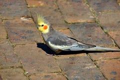 Schwefel-mit Haube Cockatoopapagei, Südafrika Stockfotos
