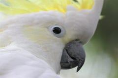 Schwefelmit haube Cockatoo lizenzfreies stockbild