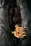 Schwefelpilz auf Buchebaum Stockbild