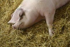 Schwein Stockfotos