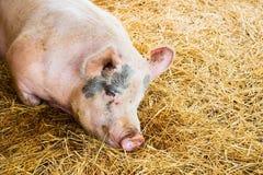 Schwein Stockbild