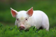 Schwein. Stockbild
