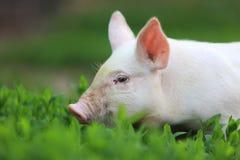 Schwein. Lizenzfreie Stockbilder