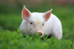 Schwein. Stockfoto
