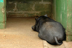 Schwein Lizenzfreie Stockfotos