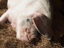 Schwein lizenzfreies stockbild