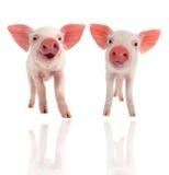 Schwein Stockfoto