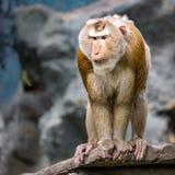 Schwein-angebundener Macaque Lizenzfreie Stockfotografie