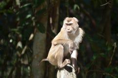Schwein angebundener Macaque Stockbilder