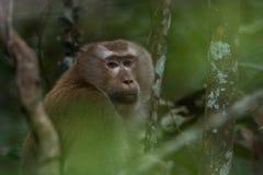 Schwein-angebundener Macaque Stockfotos