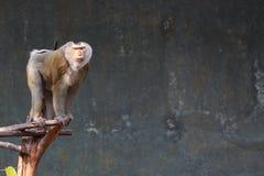 Schwein angebundener Macaque Stockbild