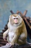 Schwein angebundener Macaque Lizenzfreies Stockbild