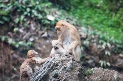 Schwein angebundener Macaque Stockfotografie