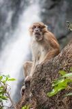 Schwein angebundener Macaque Lizenzfreie Stockfotografie