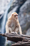 Schwein angebundener Macaque Lizenzfreie Stockbilder