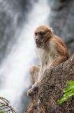 Schwein angebundener Macaque Stockfoto