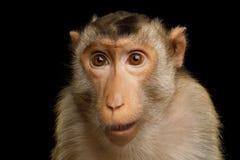Schwein-angebundener Macaque Stockbilder