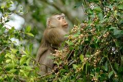 Schwein-angebundener Makaken Stockfotografie