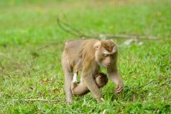 Schwein-angebundener Makaken Stockbild