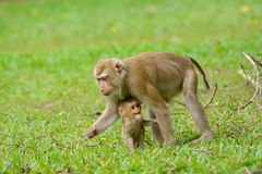 Schwein-angebundener Makaken Lizenzfreies Stockfoto